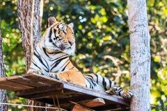 Тигр Бенгалии (пантера Тигр Тигр) в зоопарке Стоковая Фотография RF