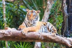 Тигр Бенгалии (пантера Тигр Тигр) в зоопарке Стоковое фото RF