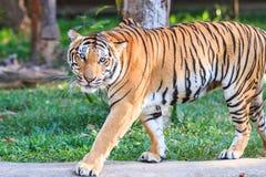 Тигр Бенгалии (пантера Тигр Тигр) в зоопарке Стоковые Изображения