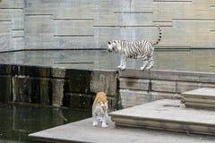 Тигр Бенгалии, пантера Тигр Тигр Стоковое фото RF