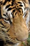 Тигр Бенгалии стоковые фото