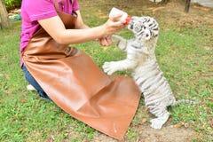 Тигр белизны младенца владельца зоопарка подавая стоковое изображение