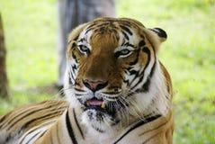 тигр Борнео стоковая фотография