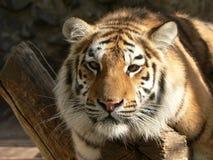 тигр ветви стоковое изображение