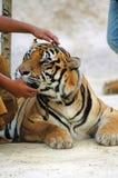 тигр виска Стоковое Изображение