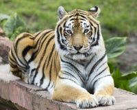 Тигр вытаращиться Стоковое Изображение