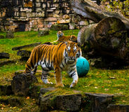 Тигр вытаращиться Стоковая Фотография