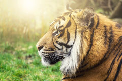 Тигр в бортовом профиле с солнцем и интенсивными глазами Стоковые Фотографии RF