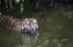 Тигр в воде Стоковое Фото