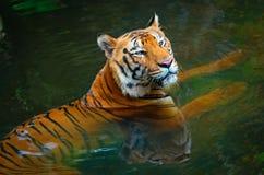 Тигр в воде Стоковые Изображения