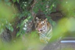 Тигр в деревьях Стоковое Изображение RF