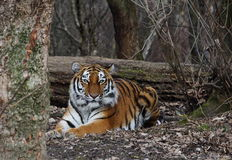 Тигр в лесе Стоковое фото RF