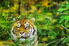Тигр в джунглях Стоковая Фотография