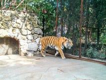 Тигр в зверинце Стоковая Фотография RF