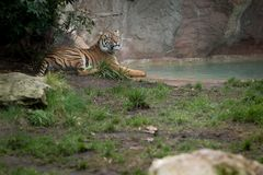 Тигр в зверинце Стоковые Изображения