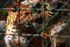 Тигр в зверинце Стоковое Фото