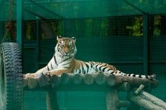 Тигр в зверинце Стоковая Фотография