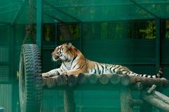 Тигр в зверинце Стоковое Изображение