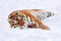 Тигр в зиме стоковые фото