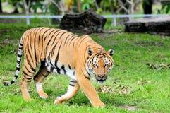 Тигр в зоопарке Стоковая Фотография