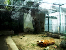 Тигр в зоопарке Стоковые Изображения RF