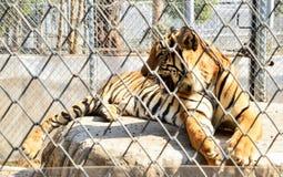 Тигр в зоопарке Стоковая Фотография RF