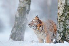 Тигр в одичалой природе зимы Тигр Амура бежать в снеге Сцена живой природы действия, животное опасности Холодная зима, tajga, Рос Стоковые Фото