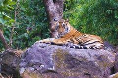 Тигр в одичалом Стоковое фото RF