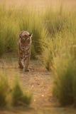 Тигр в свете утра Стоковые Изображения