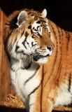 Тигр в солнце Стоковая Фотография RF