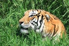 Тигр в траве стоковое изображение