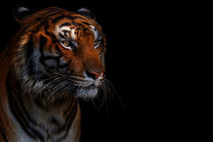 Тигр в черноте стоковые изображения rf