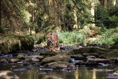 Тигр в The Creek Бега тигра за добычей Поохотьтесь добыча в tajga в временени Тигр в одичалой природе лета Wildlif действия стоковая фотография