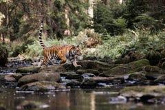 Тигр в The Creek Бега тигра за добычей Поохотьтесь добыча в tajga в временени Тигр в одичалой природе лета Wildlif действия стоковые изображения rf