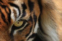 тигр глаза Стоковые Фотографии RF