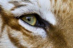 тигр глаза Стоковая Фотография RF