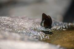 тигр голубой бабочки стекловидный Стоковое фото RF