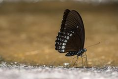 тигр голубой бабочки стекловидный Стоковое Изображение