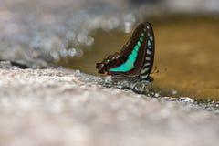 тигр голубой бабочки стекловидный Стоковые Фото