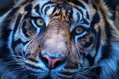 Тигр детализированный близко вверх по взгляду Стоковые Фотографии RF