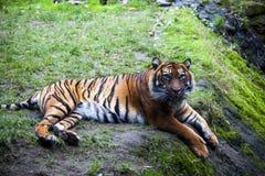 Тигр лежа на утесе, отдыхая Тигр близкий вверх в лесе Стоковые Изображения RF