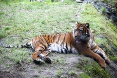 Тигр лежа на утесе, отдыхая Тигр близкий вверх в лесе Стоковая Фотография