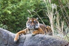 Тигр лежа на утесе, отдыхая Тигр близкий вверх в лесе Стоковое Фото