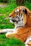 тигр детали головной отдыхая Стоковое Изображение