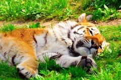 тигр детали головной отдыхая Стоковые Фотографии RF