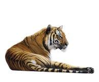 тигр детали головной отдыхая Стоковые Фото