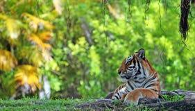 тигр женщины Бенгалии Стоковое Изображение RF