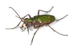 тигр жука зеленый Стоковые Изображения