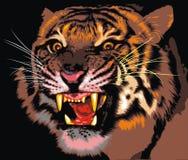 Тигр джунглей Стоковая Фотография