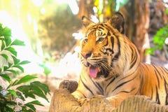 Тигр за зелеными ветвями Стоковое Изображение RF